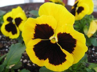 flores-de-amor-perfeito-amarelas.jpg